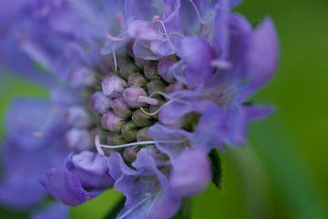 Paarse bloem von Carolina D'Andrea