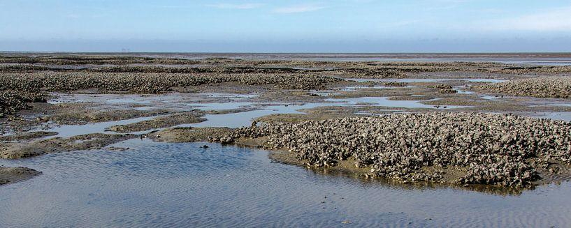 Oesterbank op de Engelsmanplaat in de Nederlandse Waddenzee.  van Meindert van Dijk