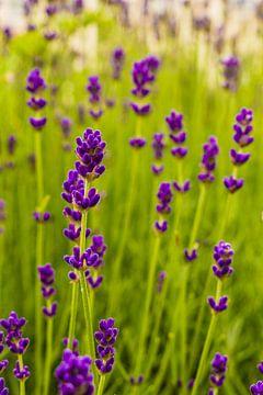 Lila Blüten van Robin Hogreve