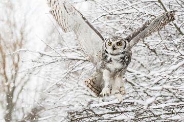 Kanadischer Adler im Schnee von Cindy Van den Broecke