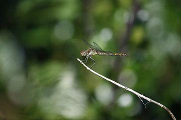 libelle op een takje van nikita van der Starre- Zagers