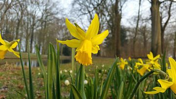 narcissen mooi in bloei van Lucas Joël Smeenge