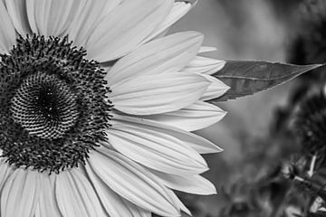 Sonnenblume ?. von Niek Traas