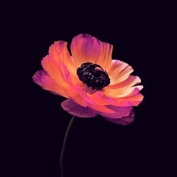 Roze Ranonkels van Pia Schneider