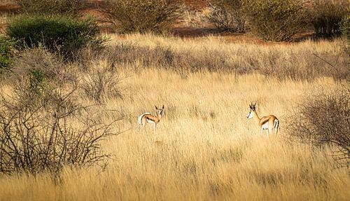 Ontmoeting tussen twee springbokken, Namibië.