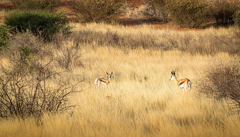 Ontmoeting tussen twee springbokken, Namibië. van Rietje Bulthuis