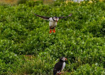 Papegaaiduiker Landing van Robin Voorhamm