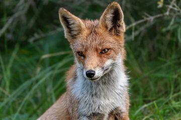 Fuchs von Leon Brouwer