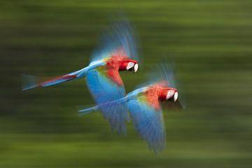 Groenvleugelara in vlucht van AGAMI Photo Agency