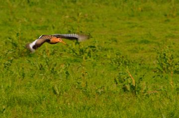 Uferschnepfe fliegt über Wiese von Leo Huijzer