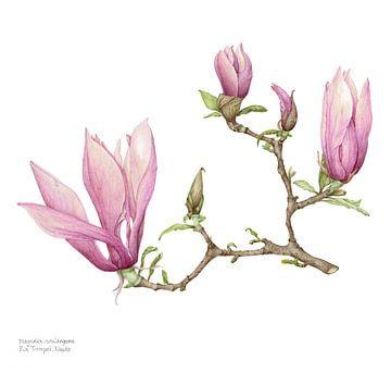 Magnolia soulangeana, beverboompje van Ria Trompert- Nauta