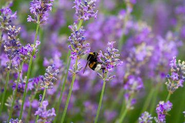 Hommel snoept van de Lavendel van Peter Crotjee
