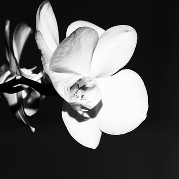 Orchidee in zwart & wit van Nancy Bogaert