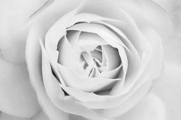 Makellos weiße Rose von Geert-Jan Timmermans