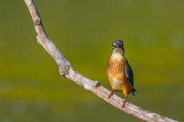 Eisvogel - Kingfisher von Ursula Di Chito