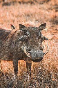 Wrattenzwijn in het Kruger Nationaal Park in Zuid-Afrika van Expeditie Aardbol