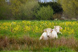 Koeien tussen het koolzaad van Brigitte Alphenaar