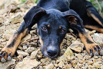Curaçao - Hund von Rowenda Hulsebos
