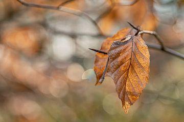 Beukenblad in winter