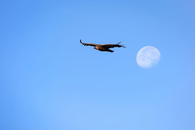 Vale gier vliegend voor de opkomende maan. van Wout Kok