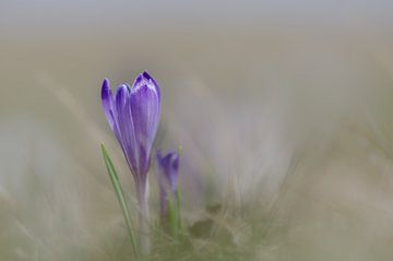 """Krokus - """"Spring"""" von Carla Boogaard"""