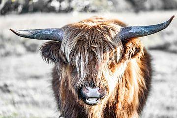 Schottischer Highlander von Hans Brasz