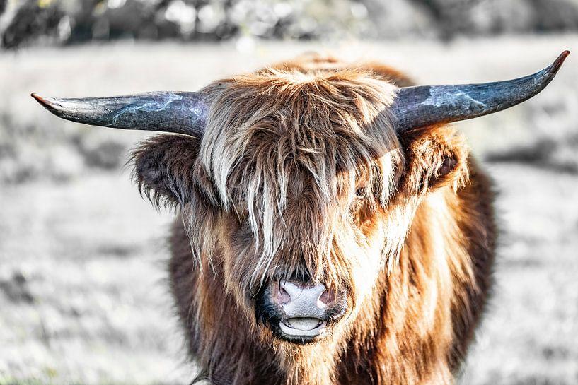 Schotse hooglander van Hans Brasz