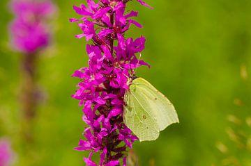 Zitronen-Schmetterling von