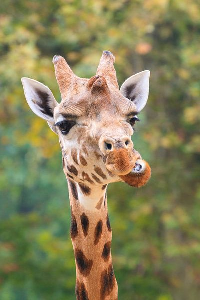 Grappig portret van een Giraffe van Dennis van de Water