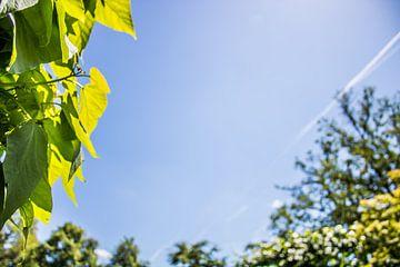 Groene bladeren van de Catalpa en andere bomen in het voorjaar van Twentse Pracht