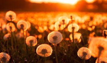 Löwenzahn bei Sonnenuntergang von Alex Dallinga