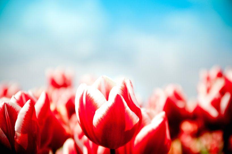 Rode Tulp van Saskia Staal