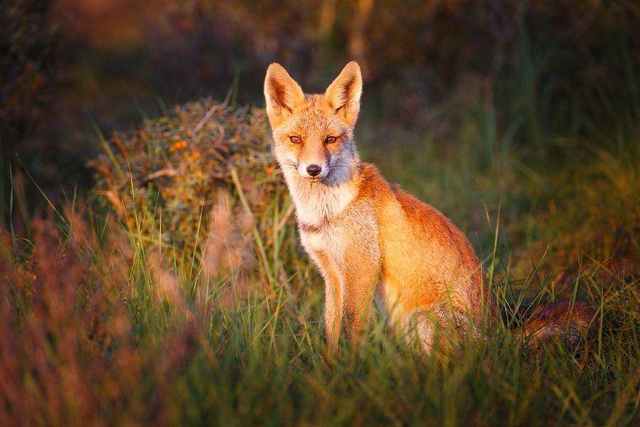 Rode vos van Pim Leijen