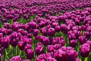 Tulpenfeld mit violetten Tulpen. von Albert Beukhof