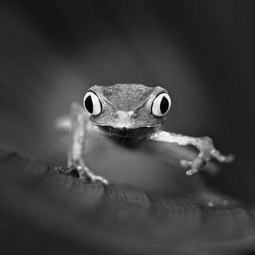 White lined leaf frog ( (Phyllomedusa vaillanti ) van Frans Lemmens