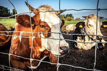 Pinken Koeien Nederland