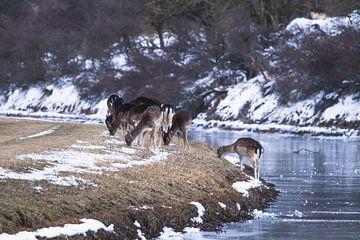 Kudde damherten naast de rivier in de sneeuw van Anne Zwagers