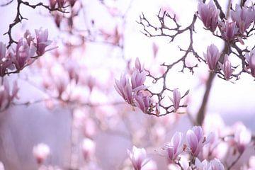 Zarter Frühling Magnolien Blüte