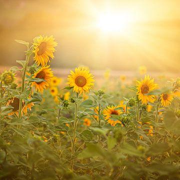 Sonnenblumen von Thomas Heitz