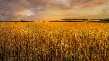 Endlose Getreidefelder von Kok and Kok
