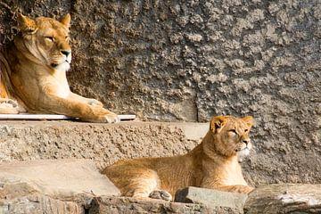 leeuwen  von Beer Foto