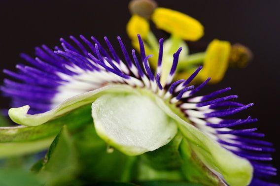 passionflower van Dirk van Egmond
