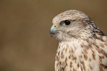 Sakervalk (falco cherrug)