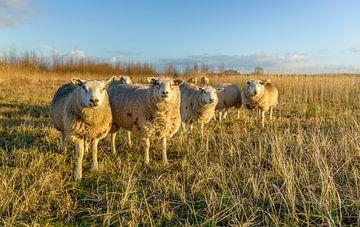 Rij schapen in dikke wintervacht van