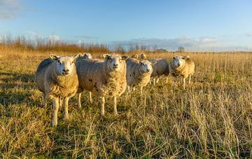 Schafsreihe im dicken Wintermantel von Ruud Morijn