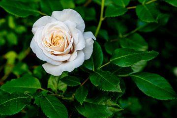 Witte Roos van Fartifos