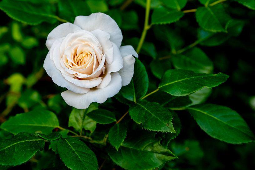 Weiße Rose von Fartifos