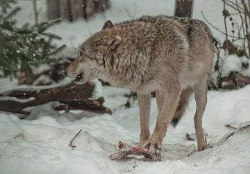 Een wolf snauwt om zijn prooivlees te beschermen. Een wolf in de sneeuw in een winterbos is een krac van Michael Semenov