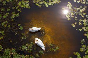 Twee zwanen met reflectie van de zon op ondiep water.