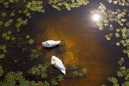 Twee zwanen met reflectie van de zon op ondiep water. van Jan Brons